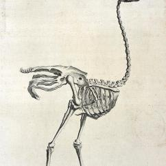 Ostrich Skeleton Diagram Twin Thermo Fan Wiring Diagrams Photograph By British Library Emu