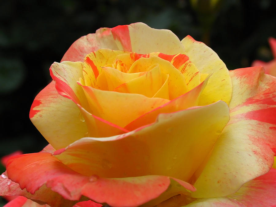 Peace Hybrid Tea Rose Photograph by Juergen Roth