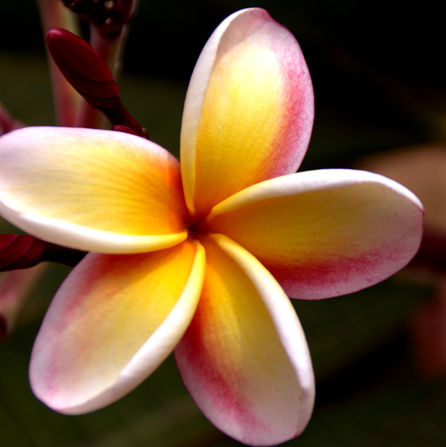 Pink And Yellow Plumeria Photograph by Brian Harig