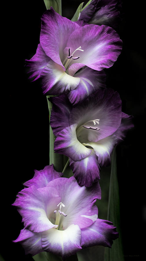 Fall Wallpaper Pintrest Purple Gladiola Flowers Evening Light Photograph By Jennie