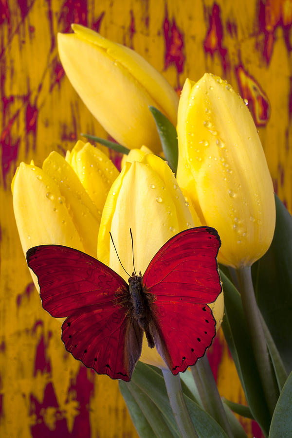 Red Butterfly Resting On Tulips Photograph by Garry Gay