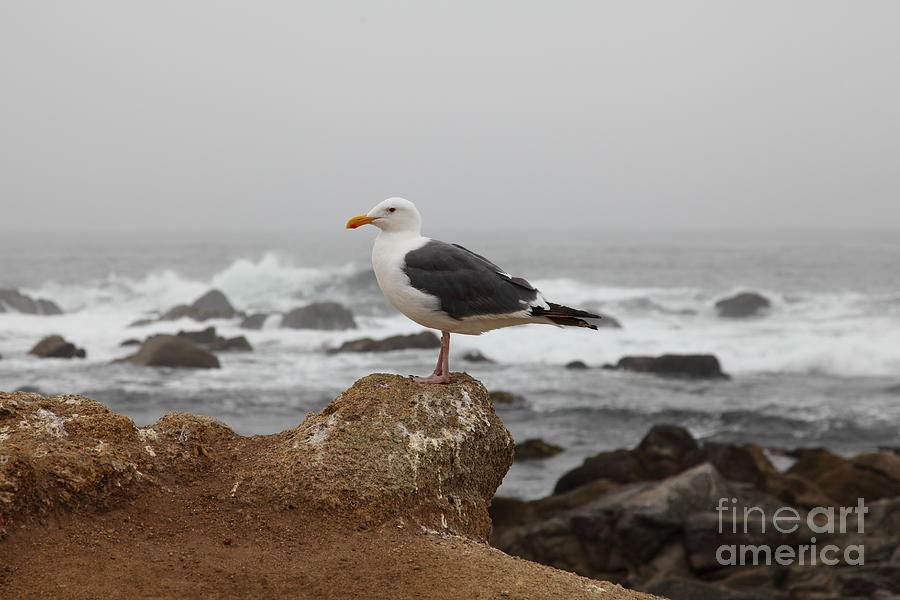 Seagull Overlooking Foggy Asilomar State Beach In Pacific Grove Near Monterey California 5d25125
