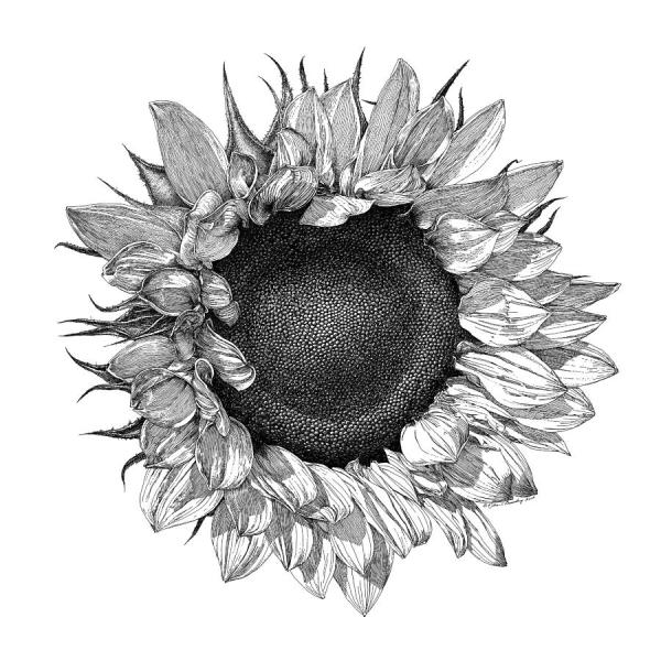 single sunflower drawing william