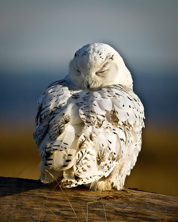 Snowy Owl Sleeping : snowy, sleeping, Sleeping, Snowy, Photograph, Steve, McKinzie