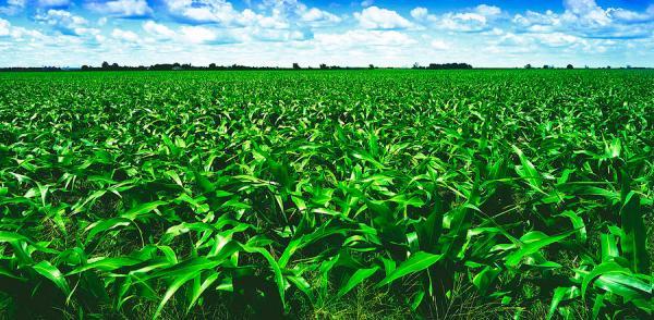 summertime corn field landscape
