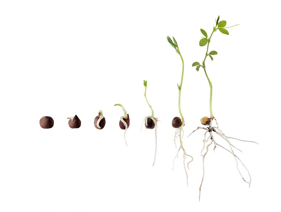 Sweet Pea Seed Germination Sequence Photograph by Cordelia