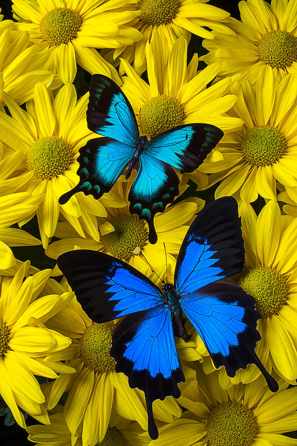 Two Blue Butterflies Photograph by Garry Gay