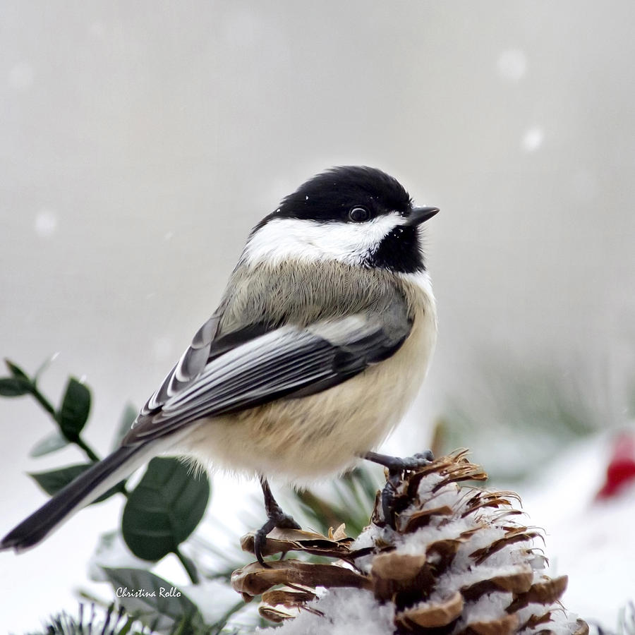 Winter Chickadee Square Art Prints for Sale