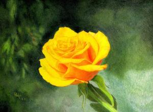 rose yellow drawing paul petro drawings 6th uploaded october which