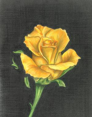 rose yellow drawing troy levesque drawings medium 29th uploaded november which