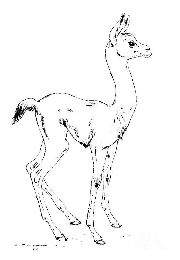 Young llama - Lama glama Drawing by Kurt Tessmann