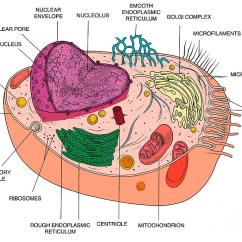 Endoplasmic Reticulum Animal Cell Diagram Nissan Pickup Wiring Smooth Art Fine America Wall Photograph By Science Source