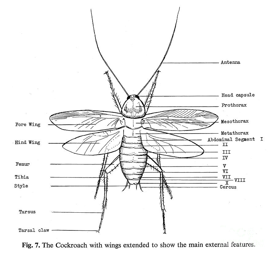 Cockroach: External Features Of Cockroach
