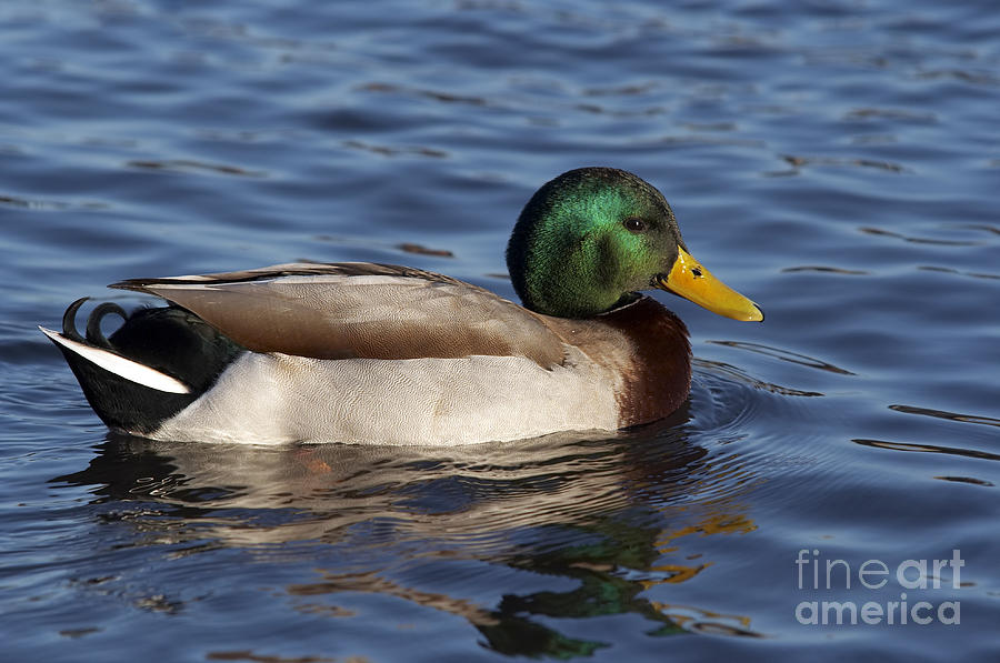 Duck On The Water Photograph By Michal Boubin
