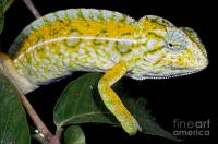 Carpet Chameleon Photograph by Dante Fenolio