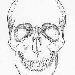 Blank Skull Diagram Anterior Kenwood Radio Wiring Harness Illustration Of Photograph By Science Source