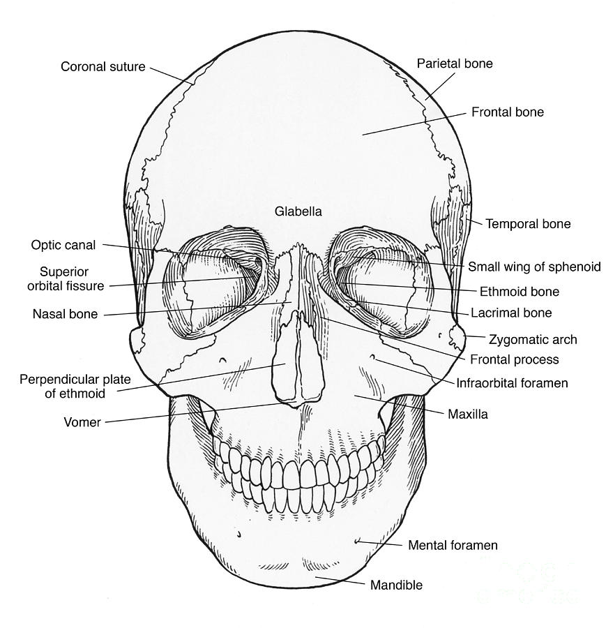 Illustration Of Anterior Skull Photograph by Science Source