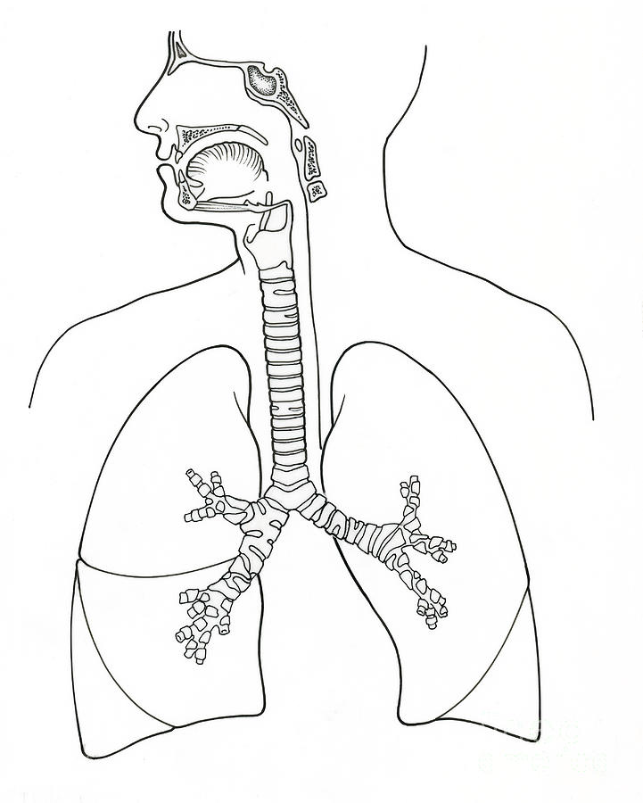 Illustration Of Respiratory System Photograph by Science