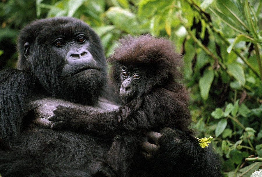https://i0.wp.com/images.fineartamerica.com/images-medium-large/a-female-mountain-gorilla-and-her-child-michael-nichols.jpg