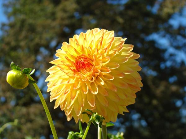 Best Selling Orange Yellow Dahlia Flower Floral Baslee