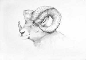 sheep bighorn drawing mick gwin drawings ram wildlife american wild north paintings 4th august which uploaded