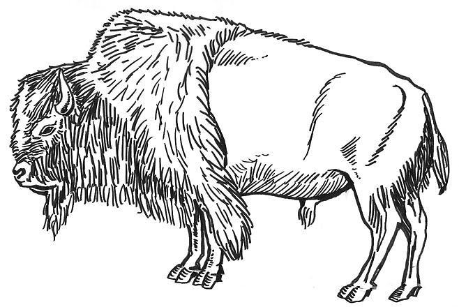 Bison Drawing by David Burkart