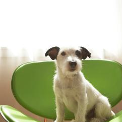 Wood Toddler Chair Overview Design Black And White Terrier Dog Sitting On Green By Window Photograph Chris Amaral