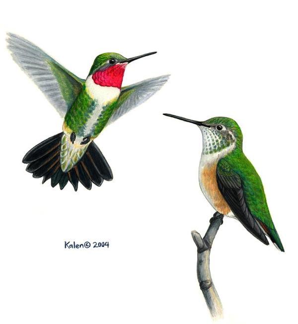 Broad-tailed Hummingbird Pair Painting Kalen Malueg
