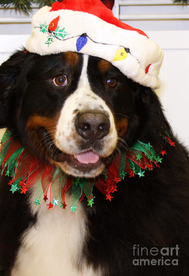 Christmas Portraits Bernese Mountain Dog Photograph By