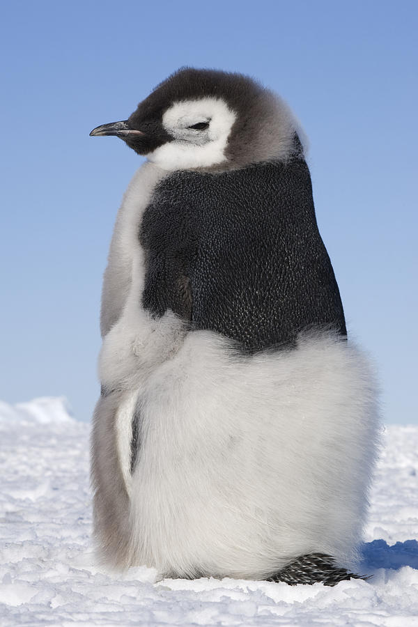 Cute Penguins Iphone Wallpaper Emperor Penguin Chick Moulting Photograph By Daisy Gilardini