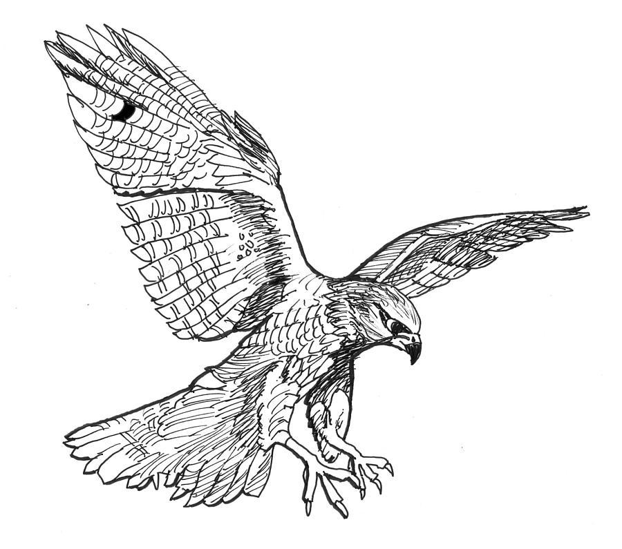 Falcon Drawing by David Burkart