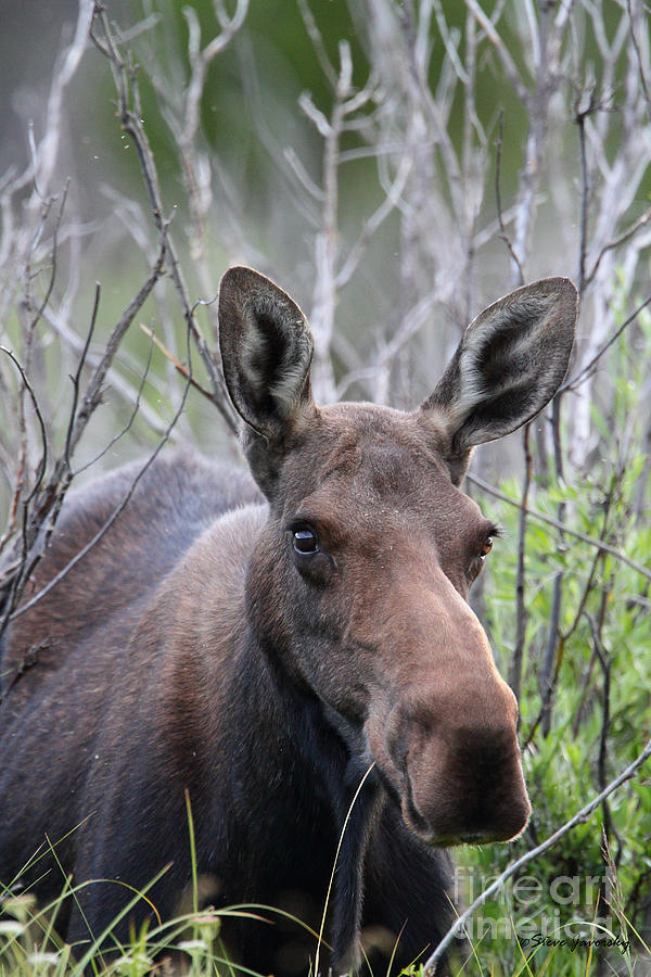 Female Moose Cow Photograph by Steve Javorsky