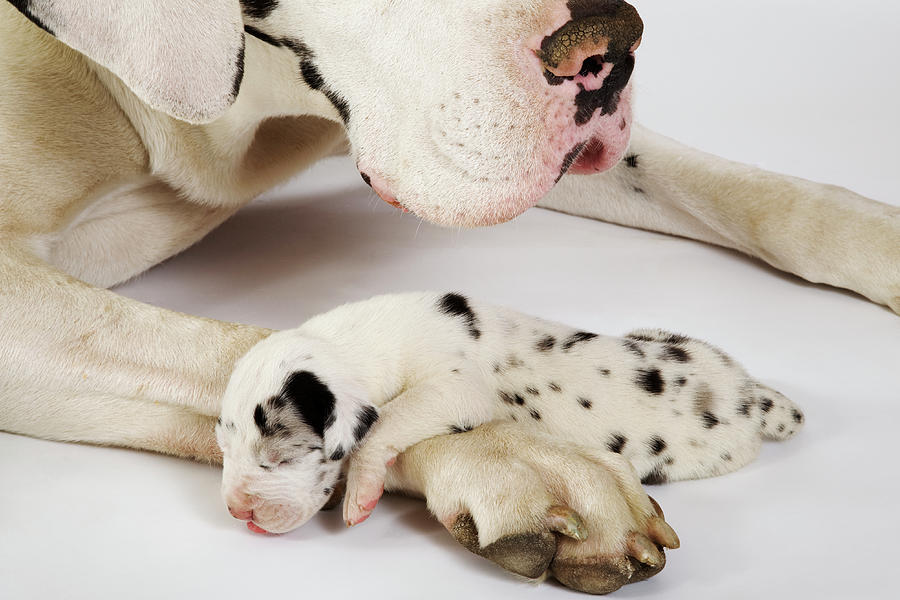 Harlequin Great Dane Puppy Sleeping On Mothers Paw