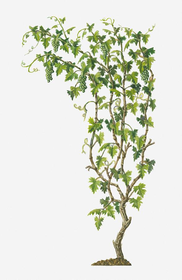 Illustration Of Vitis Vinifera Common Grape Vine Bearing Bunches Of Ripe Green Fruit Digital