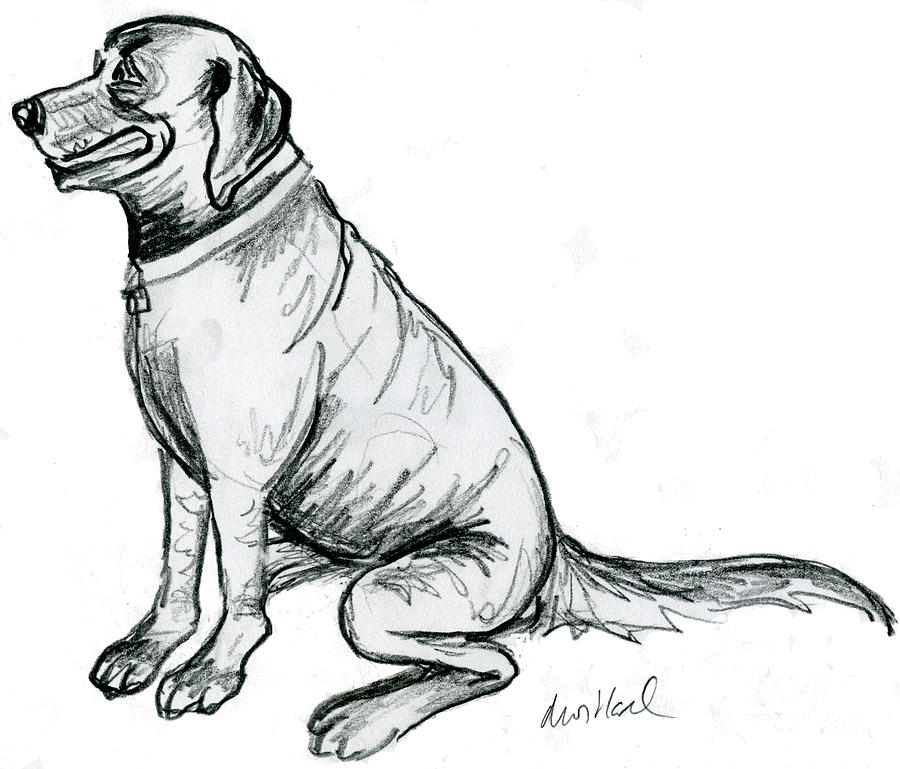 Labrador Retriever Drawing by Deborah Willard