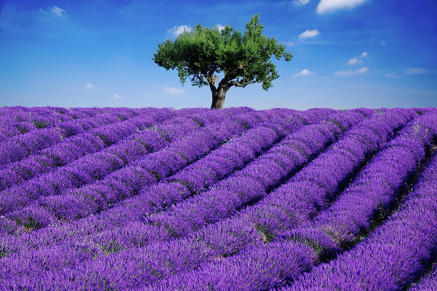 Lavender Field And Tree Photograph by Matteo Colombo