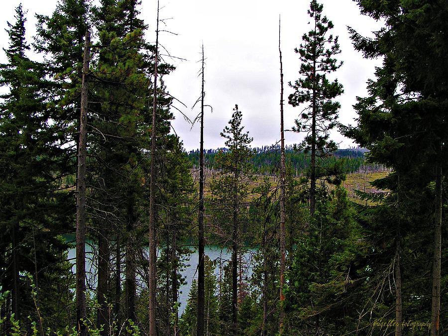 pine trees of oregon