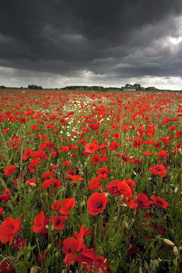 Poppy Field With Stormy Sky In Background Photograph By Chris Conway