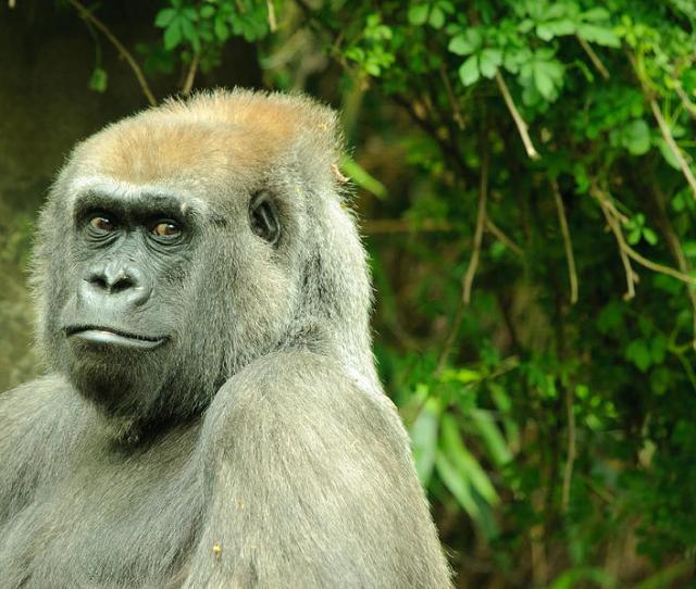 Posing Gorilla Alex Rios