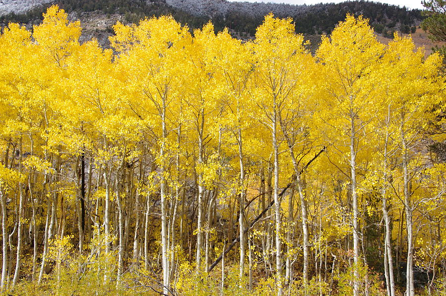 Birch Tree Fall Wallpaper Quaking Yellow Aspens Photograph By Jeff Lowe
