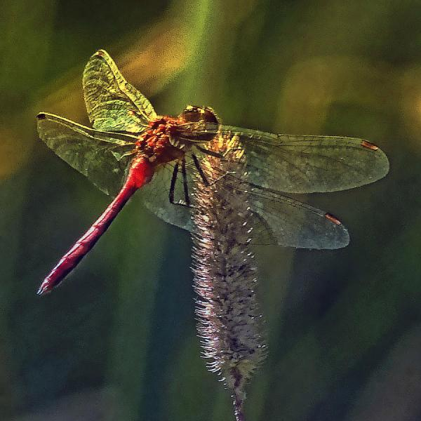 Red Dragonfly Art