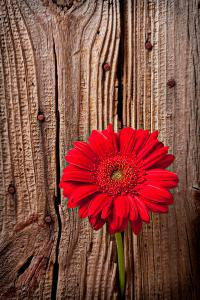 Red Gerbera Daisy With Wooden Wall Photograph by Garry Gay