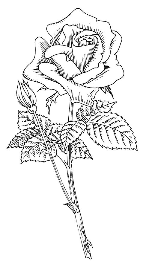 Rose, Lino Print Photograph by Gary Hincks