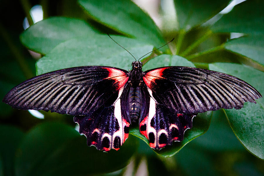 Scarlet Swallowtail Butterfly Photograph by David Patterson