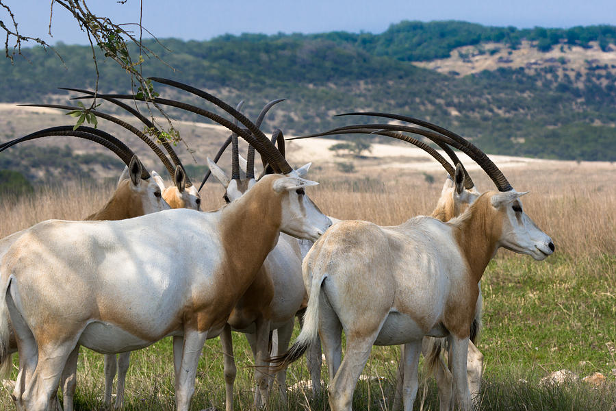 https://i0.wp.com/images.fineartamerica.com/images-medium-large/scimitar-horned-oryx-ed-gleichman.jpg