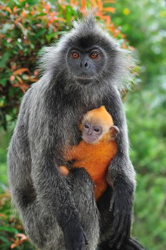 Image result for silver leaf monkey
