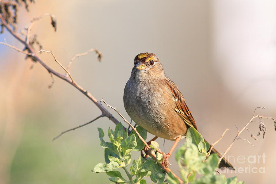 Sparrow Bird Perched . 40d12304 Photograph by Wingsdomain