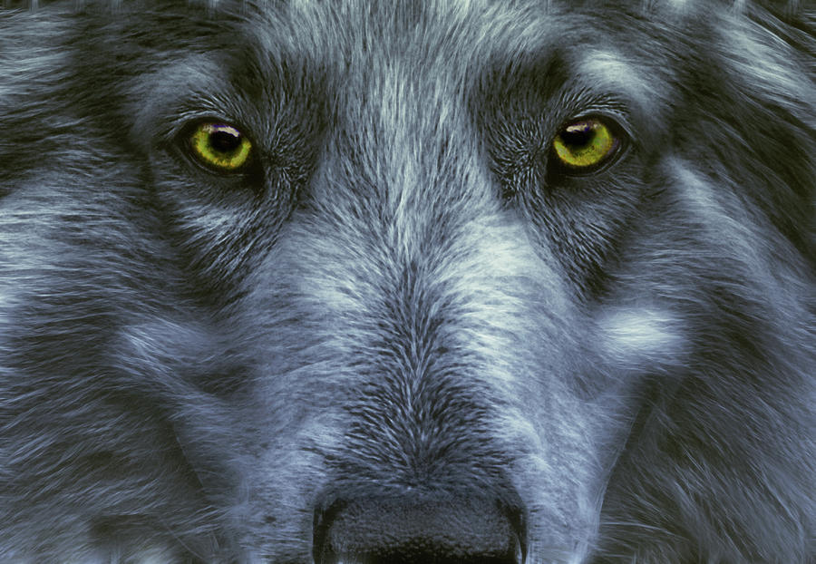 Image result for old wolf images