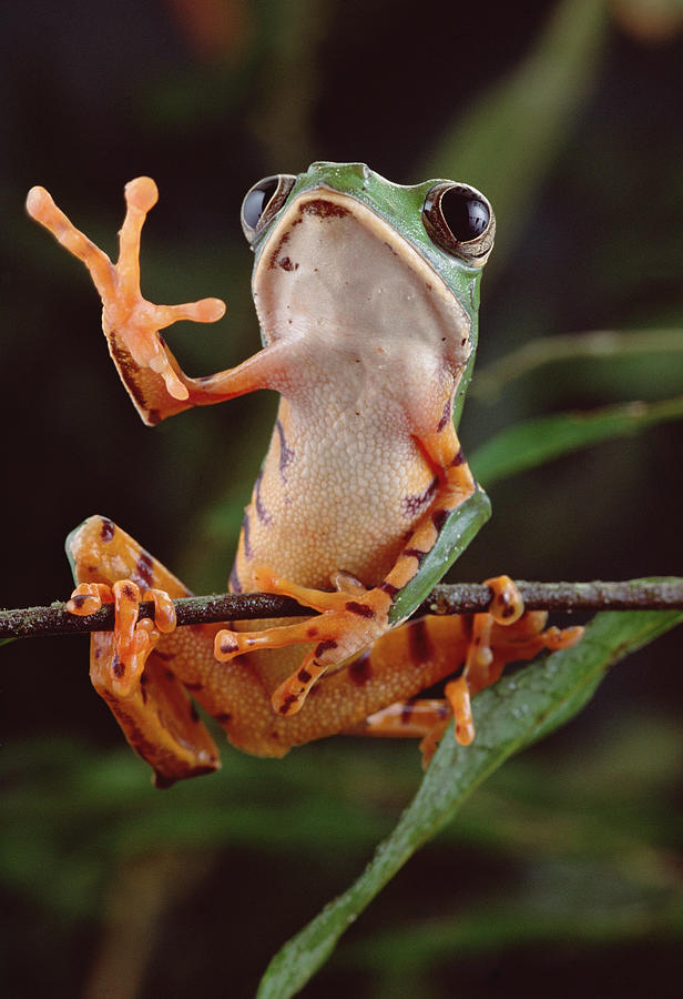 Tiger Striped Leaf Frog Waving Photograph by Claus Meyer