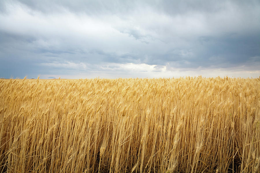 Fall Harvest Iphone Wallpaper Wheat Field Under Dark Clouds Photograph By Adrian Studer